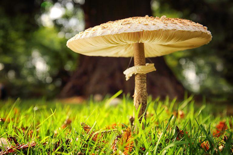 gombák parazitái közé tartozik