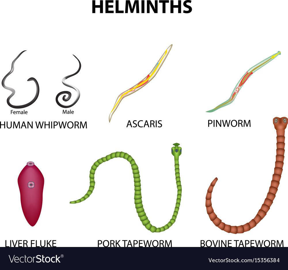 pinworm cystitis