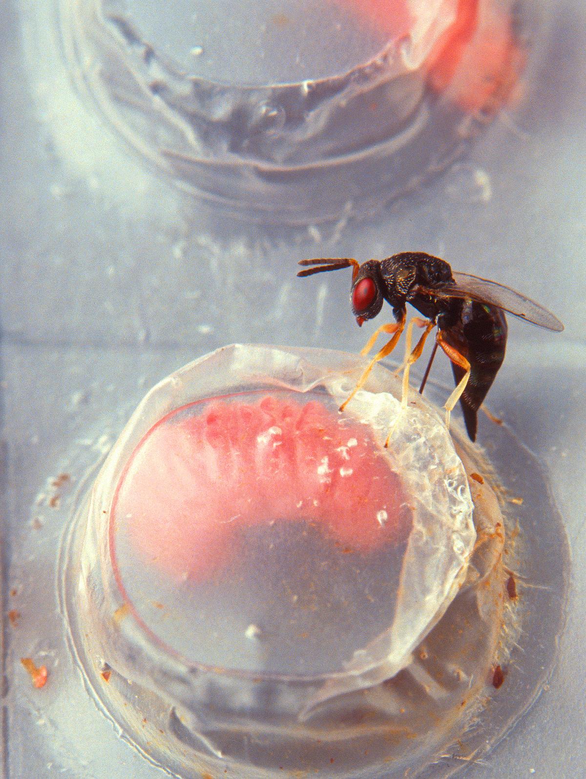 férgek a gyermekek kezelésének áttekintése a paraziták megtisztítása mely napokon