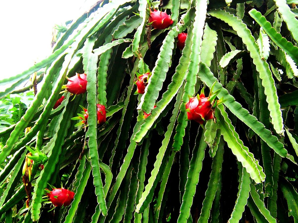 magasabb növényi paraziták férgektől, amelyek segítenek
