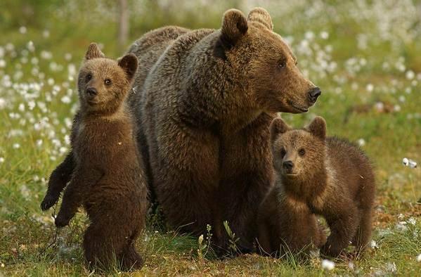 Medve hús paraziták. Mi MICSODA // Medvék