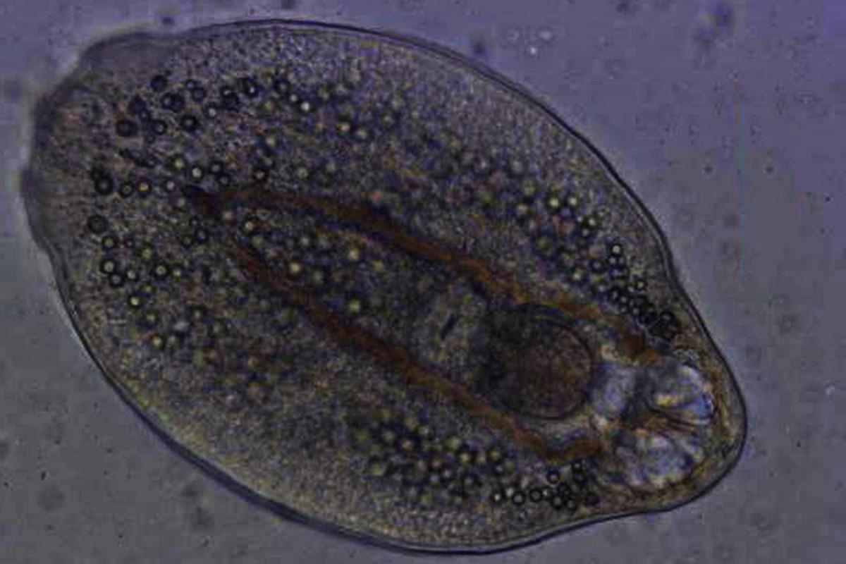parazita áldozat gyógyszer gyermekek számára férgek számára
