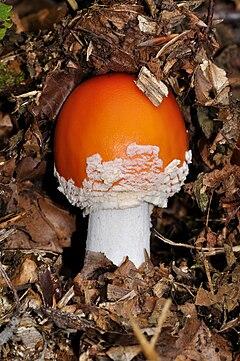 paraziták gombák példák